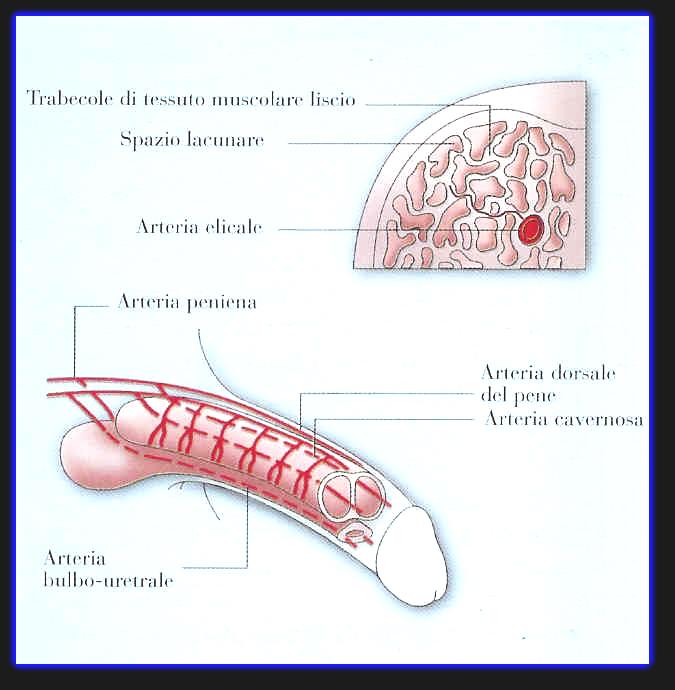 fisionomia del pene